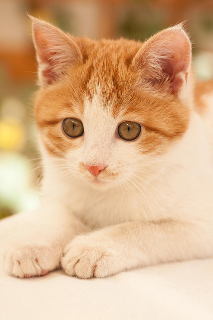 photogenicfelines:  (lacily)