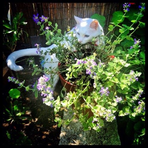 Hillary is checking out Storm's final resting place #cat #grave #garden #plant #catmint