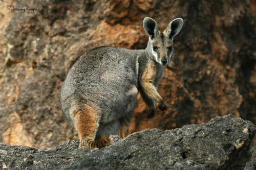 animals-animals-animals:   Yellow-footed Rock Wallaby (by JeremyRingma)