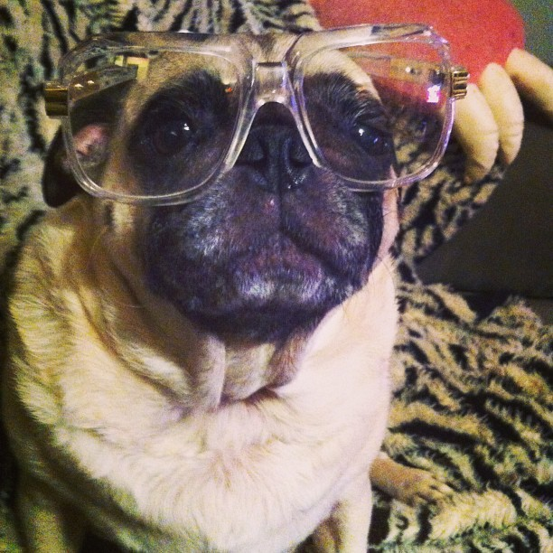 drewnicorn:  Thorbert may not be amused… but I sure am! #thorbert #pug #cazal