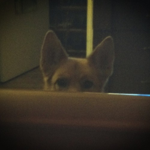 I always feel like someone's watching me. #germanshepherd #dog