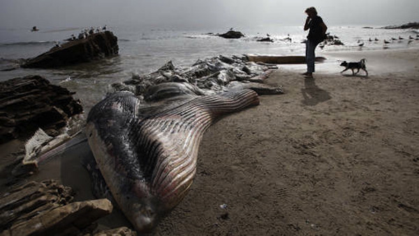 ©ap. DEAD WHALE IN MALIBU A woman walks her dog past the dead male fin whale that washed up between Paradise Cove and Point Dume in Malibu.