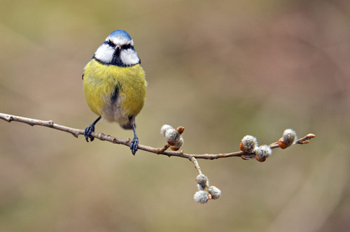 allcreatures:  A blue tit on a branch with emerging catkin buds. Photographer Richard Bowler snapped this lovely springtime picture in his garden in Corwen, North Wales.  Photograph: Richard Bowler / Rex Features