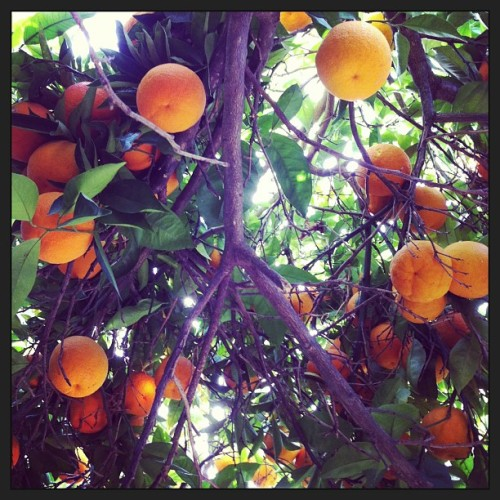 In pursuit of #happiness, I'm underneath my canopy of oranges. #nature does the trick.