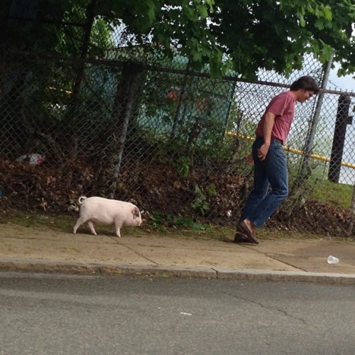 This guy is walking a pig with no leash on #MissionHill in #Roxbury (at McLaughlin Park)