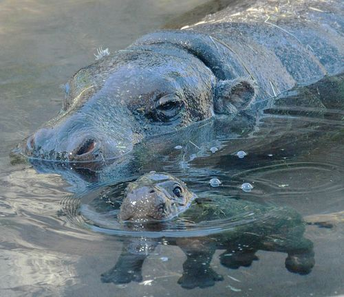 emotionalsyrup:  Look at this baby hippo. And its parent (?)