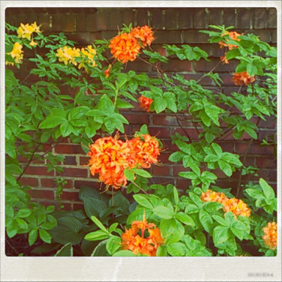 ORANGE FLOWERS IN MY NEIGHBORHOOD