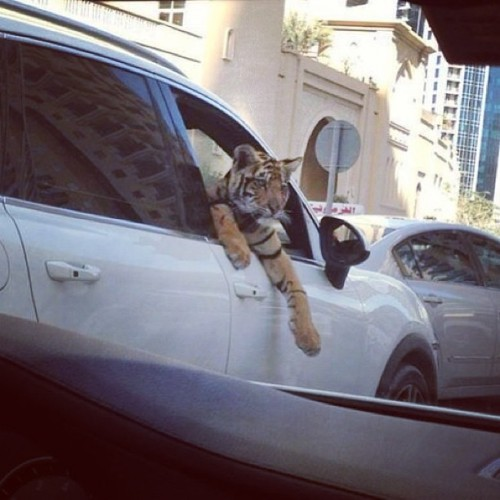 itzabz:  #pet #tiger chillin out the #car window lol i need one