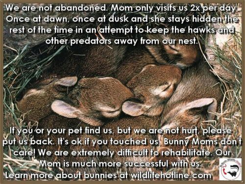 ghirahim:  brutal-pokemon:  ancientavian:  psa baby bunnies also related! In most cases, if you find a baby bird and can locate the nest, it's okay to put it back; the parents won't reject it and in fact most songbirds have relatively weak senses of smell so they won't even know  related to birds, even if you just tie a pot with some grass and the baby inside somewhere the mom can hear the baby's cries, that'll work, too, I've done it with Mockingbirds before.  and for those at coastal areas, seagulls are communal nesting species and many water birds nest on the ground. a water bird on the ground is not immediate cause for concern, especially if there is a breeding compound nearby, or if they are capable of walking. if the bird is in harm's way or injured, you may wish to report it, but other than that, it's fine.