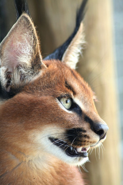 captivating-animals:  Caracal Close Up by S_Group