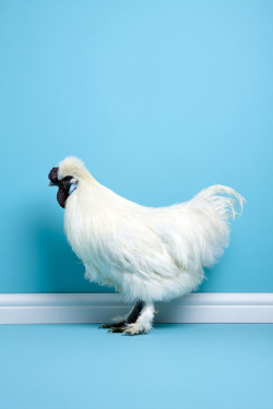 graphicalhouse:  Fantastic images of poultry (avoiding obvious cock gag) by Mitch Payne.