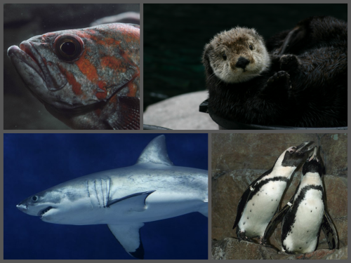 montereybayaquarium:  Did you know that today is Endangered Species Day, celebrating the 40th anniversary of the federal Endangered Species Act? We rescue, study and care for many endangered species at the Aquarium, in cooperation with government agencies. These include snowy plovers, sharks, sea otters, penguins, rockfish and albatross. How will you celebrate this special day?  Learn about all our research and conservation efforts.