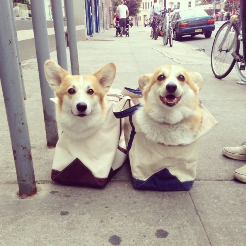 corgiaddict:  ensignau:  Apparently this happened today.  What is going on here. CORGI AIRLIFT DEVICES?? I couldn't carry 35 pounds of Corg on my shoulder. He needs a rolly bag.