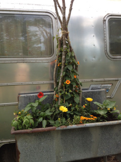turned this old industrial sink into a planter, mixed annuals with hot peppers, eggplant and basil.  like it much better brimming with plants instead dirty dishes!