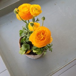 This morning on the #screenedinporch: #ranunculus!