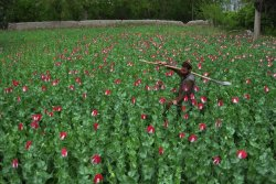"I have a new article up on The Fix, check it out y'all: Afghan Opium Production Up for Third Year Running | The Fix  Opium cultivation in Afghanistan is up for the third year in a row and heading towards a record high, according to a new UN report. The Afghanistan Opium Risk Assessment 2013, issued by the UN Office on Drugs and Crime, attributes the increase to opium's rising price, making it an even more attractive crop for farmers. The figure for 2013 is expected to surpass the 154,000 hectares planted in 2012, according to the report. Afghanistan is the world's largest producer of opium, accounting for about 75% of the global supply last year. ""The assumption is it will reach again to 90% this year,"" says Jean-Luc Lemahieu, head of the UN Office on Drugs and Crime in Afghanistan. ""We are looking at a record high cultivation."" Lemahieu was recently interviewed for The Fix's exclusive report on the heroin addiction crisis within Afghanistan, which has an estimated 1 million addicts. Earlier this month, the UN also estimated that 1 million deaths worldwide have been caused by Afghan heroin since the US-led ""War on Terror"" began in 2001, while opium production has increased 40 times. Over 70% of Afthan opium is produced by just three provinces. US troops have attempted to subdue the Taliban influence and find alternative crops for these regions' farmers. But after the end of the three-year ""surge"" in 2012, poppy cultivation has soared. It may be that people are turning to illicit markets in greater numbers in anticipation of the predicted withdrawal of foreign forces—and cash—in 2014. ""This country is on its way to becoming the world's first true narco-state,"" says an anonymous international law enforcement official. ""The opium trade is a much bigger part of the economy already than narcotics ever were in Bolivia or Colombia."""