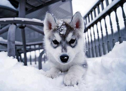 Cute puppy! ^^ on We Heart It - http://weheartit.com/entry/47130454/via/Solveig_Garns