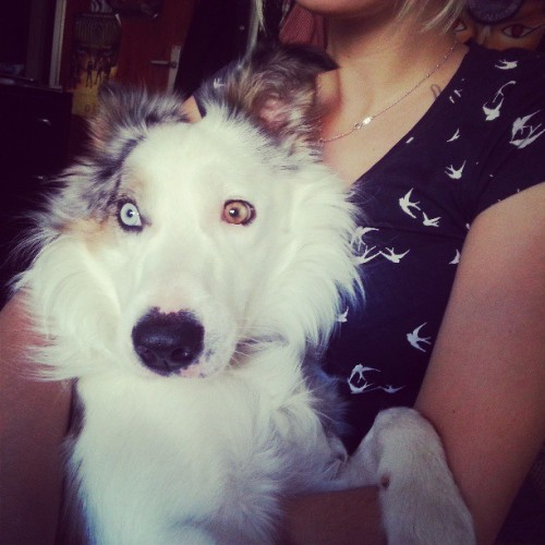 Tyson♥ #Dog #Bordercollie #Petstagram #Pets #Eyes #White #Light #Cute #Perro #Beautiful