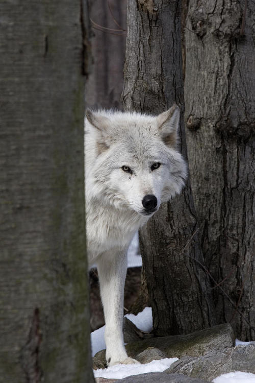 wolveswolves:  Timber wolf by Jeff Grabert