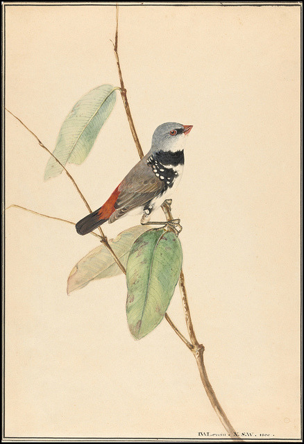 thelighthunter:  Spotted Side-Finch (Diamond Firetail) - Stagonopleura guttata 1800 by peacay on Flickr.
