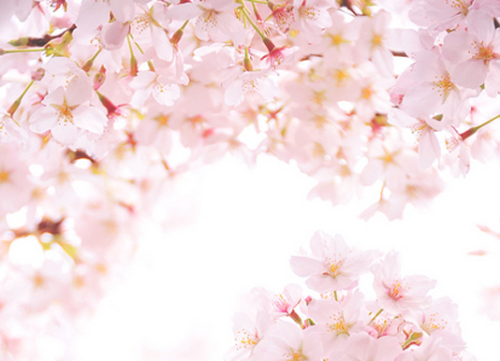 uusan:  Sakura / Spring is Blooming! (by *Sakura*)