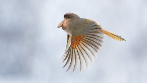 A Monkey-Bird Mashup And Other Amazing Images From This Week via Popular Science  Reddit user gyyp posted a series of Photoshop collages merging different animals. We're particularly fond of this one, the Proboscird: half proboscis monkey, half bird. The nose is incredibly aerodynamic.