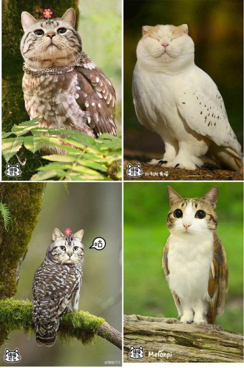 atinyhedgehog:  thefibonaccist:  kittydoom:  CAT OWLS  buh  the most noble animals