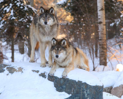 wolveswolves:  By Gerry Sibell