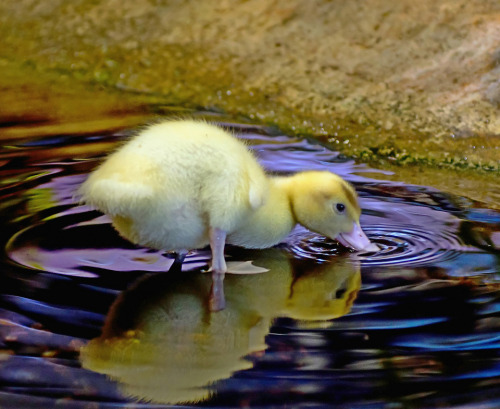 llbwwb:  Little Duck by Malkl36.  little duck with the cutest butt
