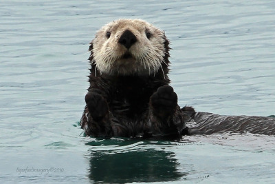 theoceaniswonderful:  Sea Otter by Ross Forsyth - tigerfastimagery
