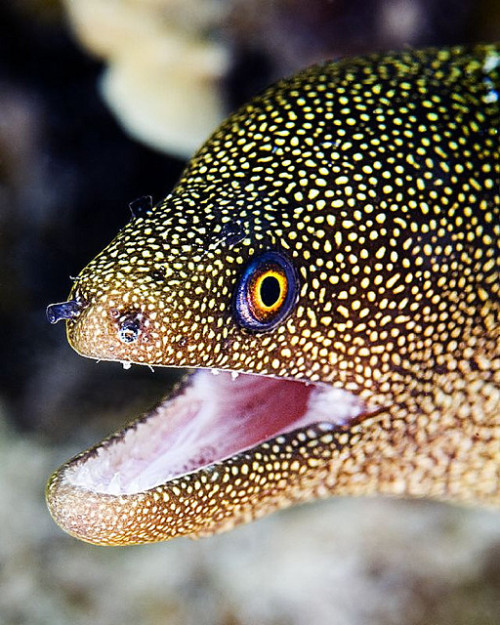 giraffe-in-a-tree:  The Golden Moray Eel, lookin all sparkly n shit by Reef Reflections