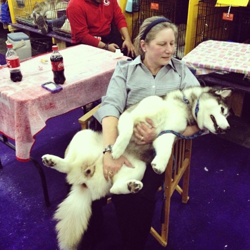 Woman holds her passed out Husky (Westminster Dog Show NYC)