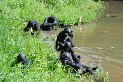 Bonobos wading in water in Democratic Republic of the Congo. Photograph: Russell A Mittermeier/Conservation International