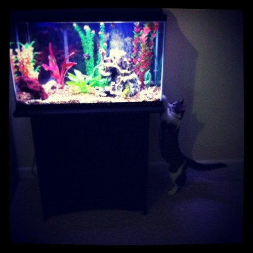 Kitty mesmerized. #kitten #cat #aquarium #fishtank #philteredphil