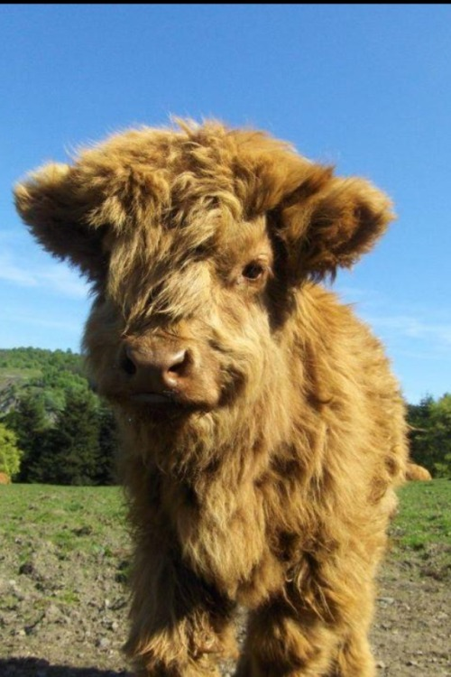 aweh-cute:   Do you guys like Highland cows? a wonderful aww blog