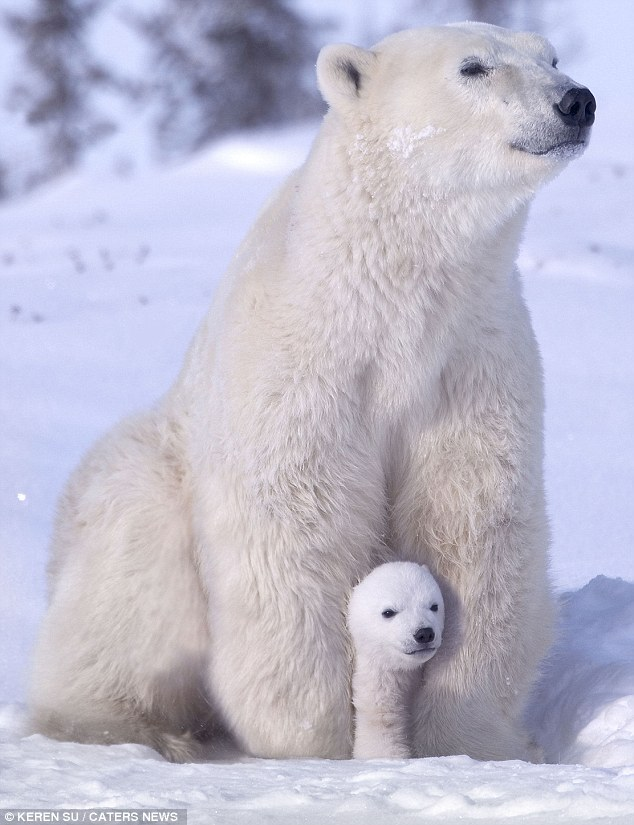 Cuddles: This polar bear cub enjoyed snuggling up to its mum after playing in the snow  Photo by Keren Su