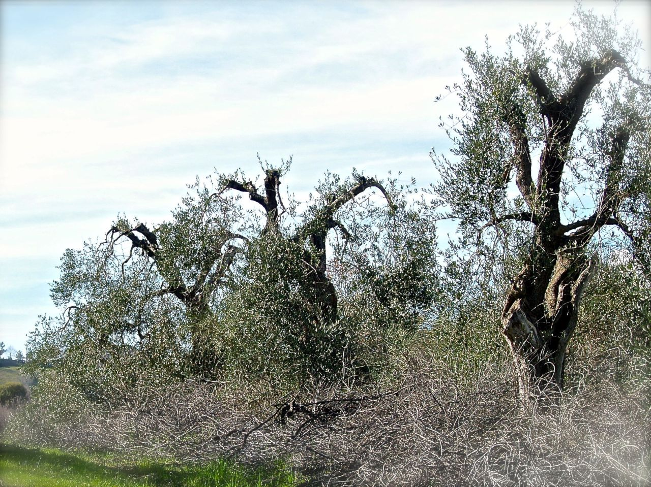 Olives turning to the sky