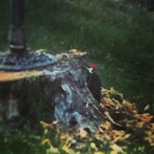 WoodPecker #red #beautiful #chillin #nature #loud #amazing #messy