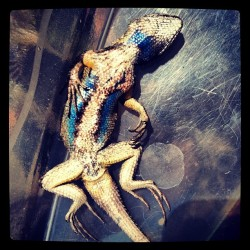 Got caught, got dead. But look at that pretty blue belly!! 🐊💙 #lizard #dead #deadlizard #bluebelly (at Murdock's House of Fun)