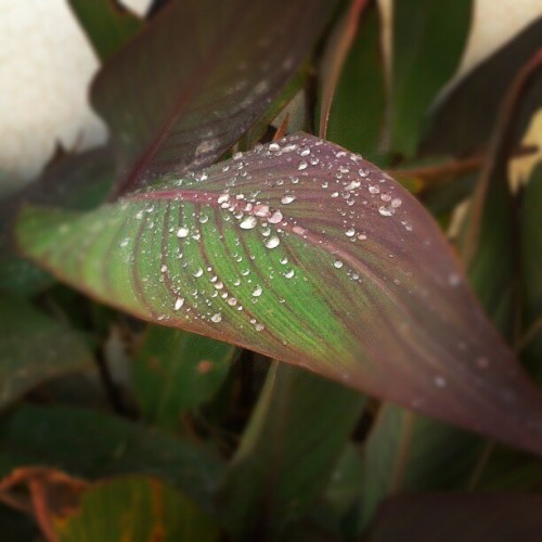 Rain drops in the very morning very refreshing #rain #drops #rain_drops #morning #refreshing #love #lovely #grass #green #beautiful #morning_beauty