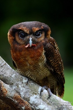 eqiunox:  Brown Wood Owl by junis_sp_photography on Flickr
