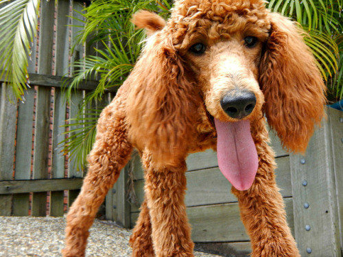 poodls:  Come on Lacey by corbiess on Flickr.  RED STANDARD POODLE OMG.