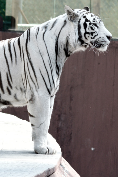 sexlane:  frncsc187:  Bengal Tiger | Source  .