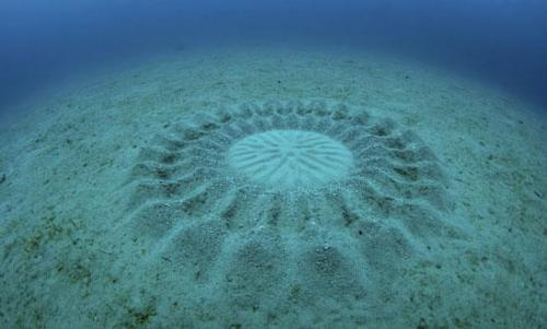 earth-phenomenon:  This incredible pattern on the sea bottom was made by a tiny puffer male fish to attract a female. The circle is approximately 2m in diameter. Scientists still researching this behavior.  Dude.