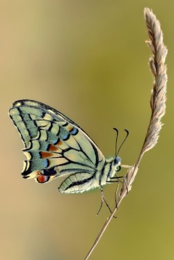 Papilio Machaon by Roberto Becucci