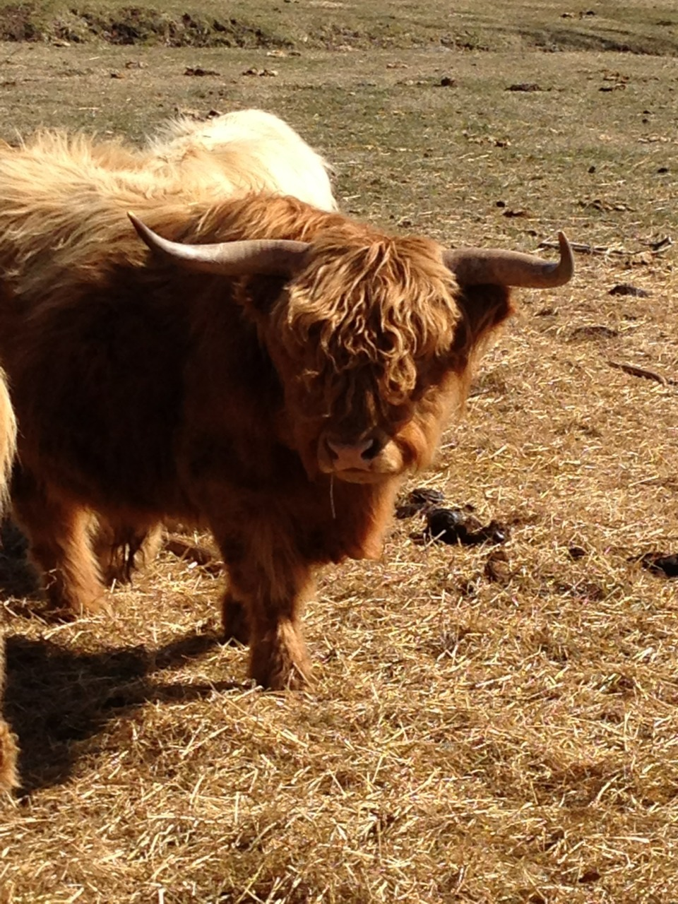 "Scottish Highlander, Salisbury CT. Reminding Complete Portion Control of the brilliant song by The Fall, ""Free Range."""