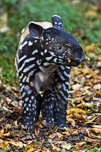 theanimalblog:  Baby Tapir. Photo by sparky2000