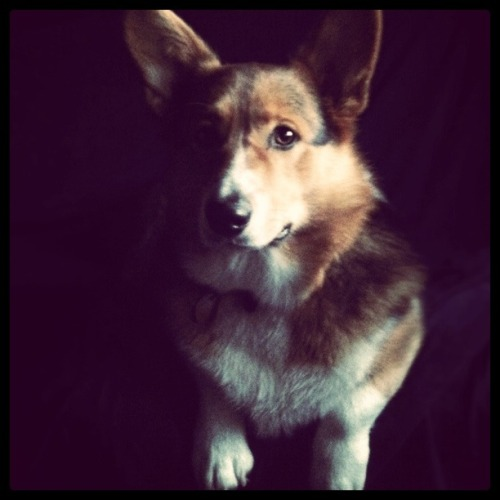 CHUBBS THE CORGI submitted by: kristEn chavarria http://cheese-and-grapes.tumblr.com/ follow me on instagram where CHUBBS has his very own tag #chubbsthecorgi http://instagram.com/tree_lover