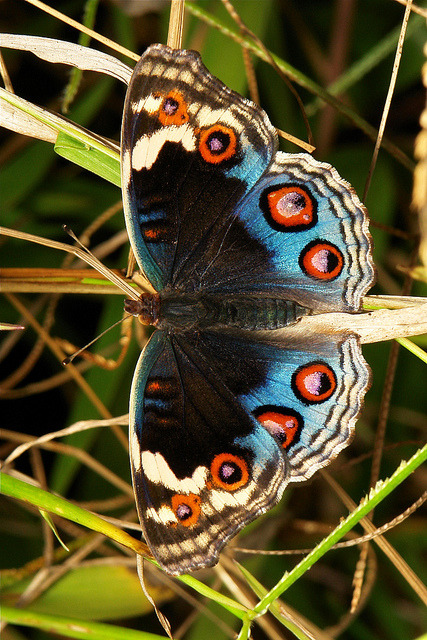 sinobug:  Blue Pansy (Junonia orithya, Nymphalidae)  This species also has a brown morph…..  Pu'er, Yunnan, China See more Chinese butterflies on my Flickr site HERE…..