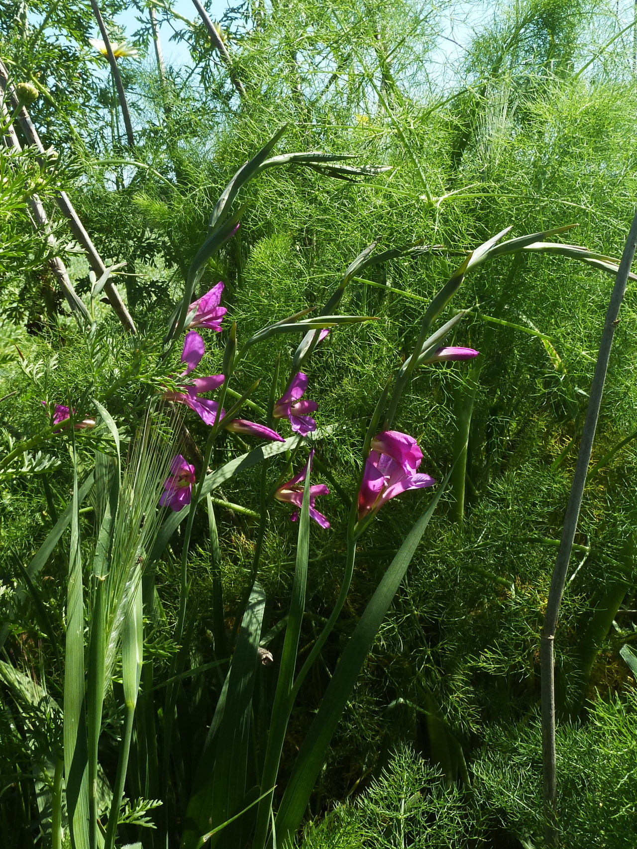 Wild Gladiolus and in the background wild fennel … Spring in Southern Italy :)